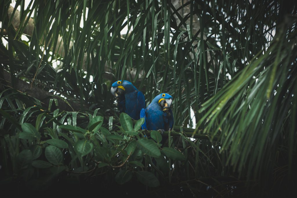 Searching for the Pantanal Jaguar – Brazil Pantanal